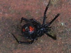 black widow spider isolation