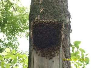 honey bees in duck house 010