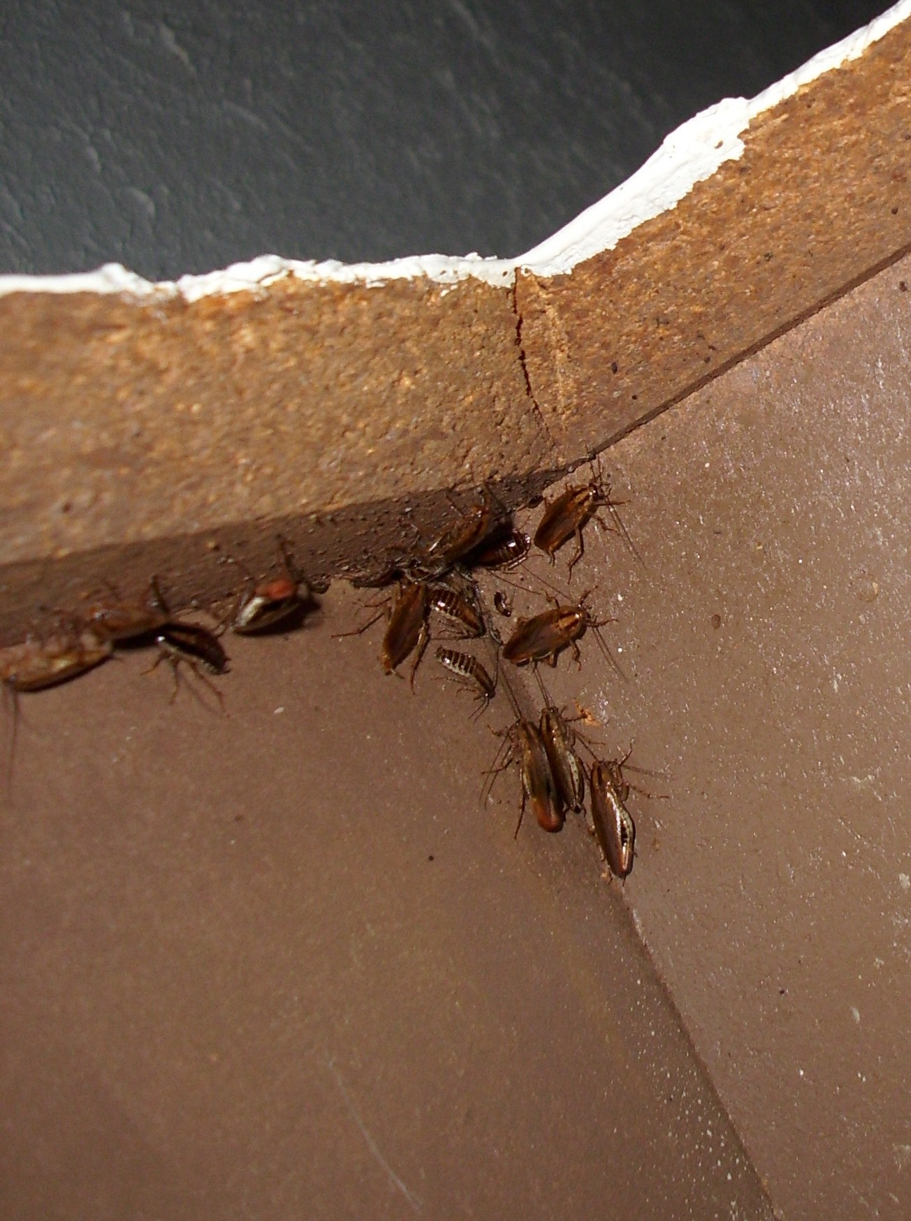 Roaches In Cabinets 010 Swat Team Pest Control Services