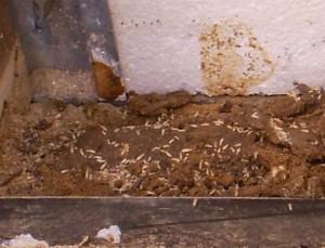 termites exposed