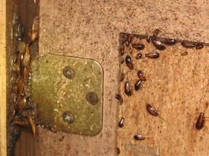 hinge roaches [800x600]