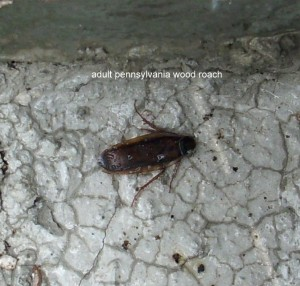 pennsylvania_wood_roach_001