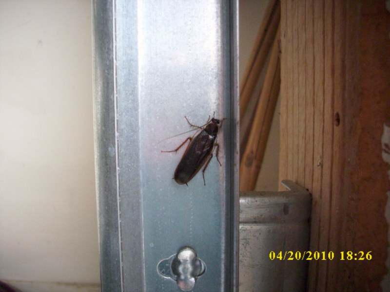 Pennsylvania Wood Roach 002 1 Swat Team Pest Control