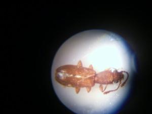 Siamese grain beetle 36